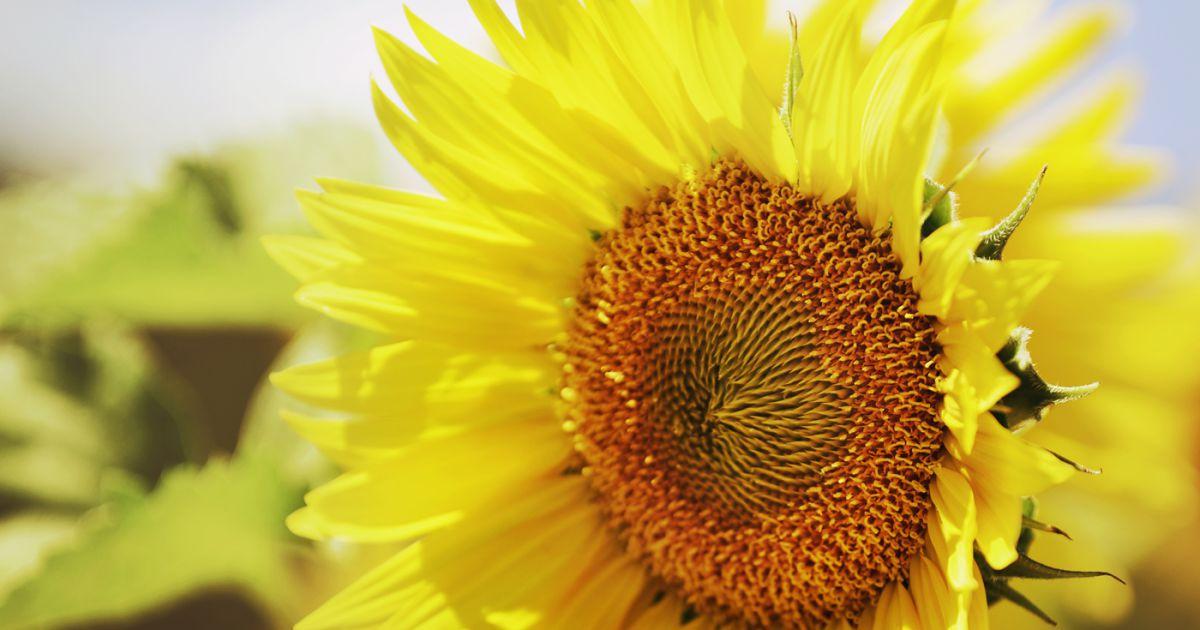 słonecznik w słońcu